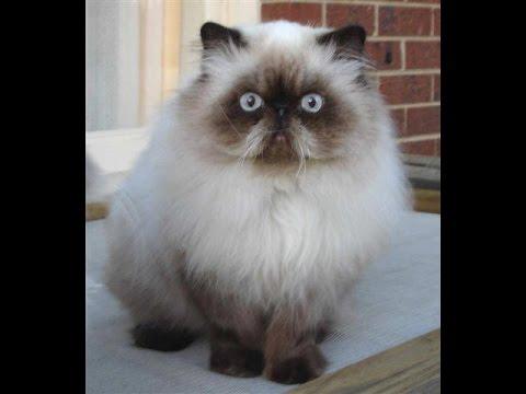 بالصور قطط هملايا , صور قطة الهملايا 6310 1