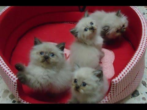 بالصور قطط هملايا , صور قطة الهملايا 6310 2