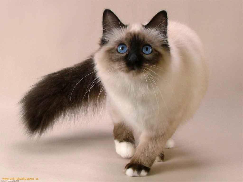 بالصور قطط هملايا , صور قطة الهملايا 6310 3