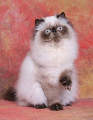 بالصور قطط هملايا , صور قطة الهملايا 6310 4