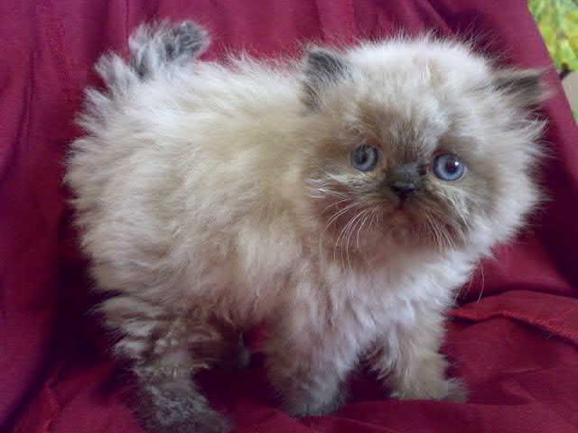 بالصور قطط هملايا , صور قطة الهملايا 6310 5