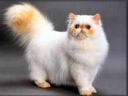 بالصور قطط هملايا , صور قطة الهملايا 6310 6