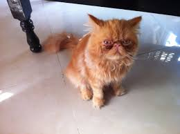 بالصور قطط هملايا , صور قطة الهملايا 6310 7