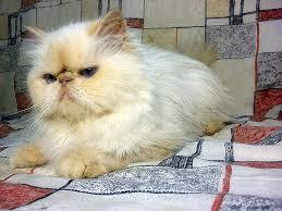 بالصور قطط هملايا , صور قطة الهملايا 6310 9
