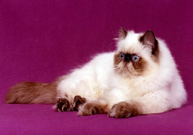 صورة قطط هملايا , صور قطة الهملايا