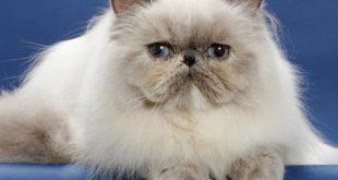 قطط سيامو , احلي القطط السيامي