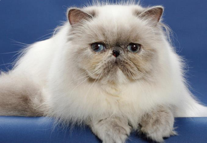 القط السيامي Semi-Longhair 2311