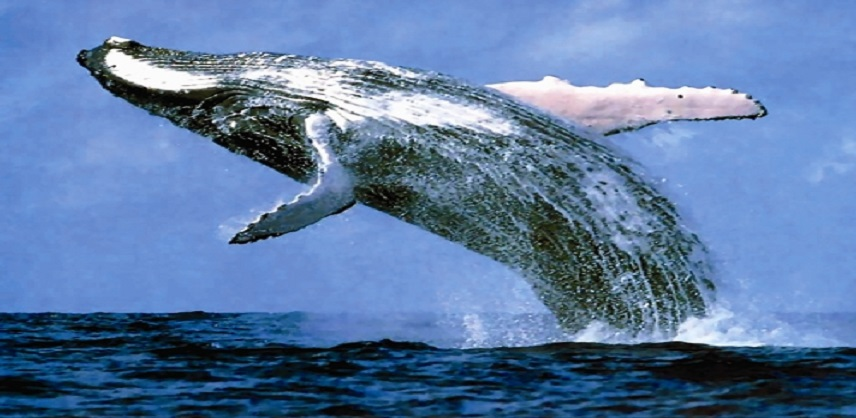 صورة اكبر حوت في العالم , اكبر الحيتان في العالم