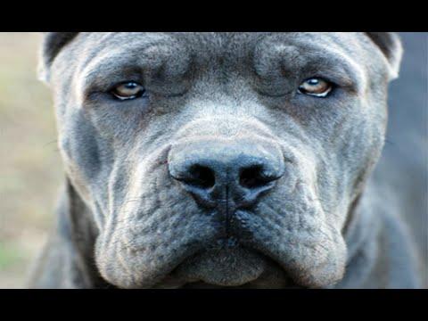 بالصور اخطر انواع الكلاب , صورة اشرس كلب فى العالم 2143 1