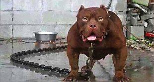 صور اخطر انواع الكلاب , صورة اشرس كلب فى العالم