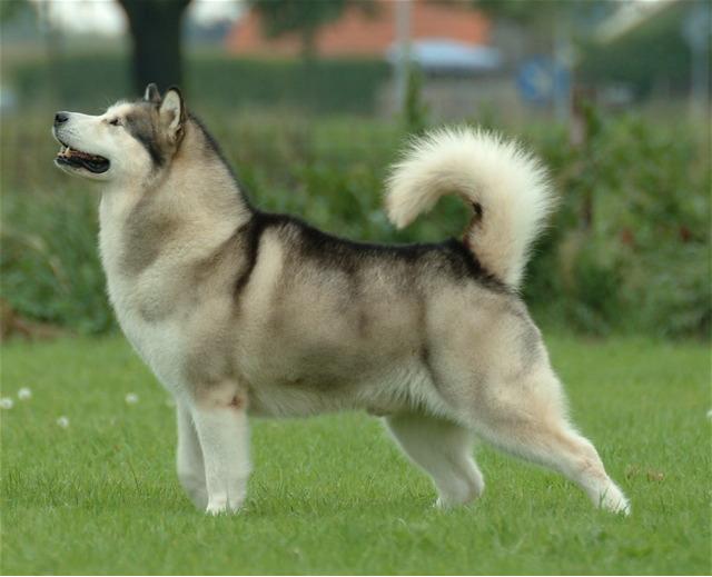 بالصور اخطر انواع الكلاب , صورة اشرس كلب فى العالم 2143 3