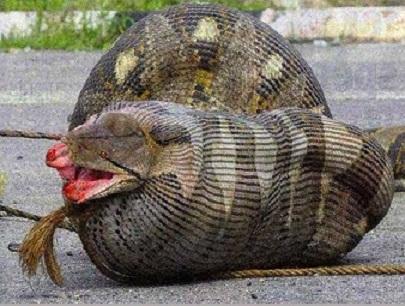 بالصور اكبر ثعبان في العالم , صور اكبر الثعابين فى العالم ثعبان الاناكوندا 3149 2
