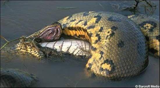 بالصور اكبر ثعبان في العالم , صور اكبر الثعابين فى العالم ثعبان الاناكوندا 3149 4