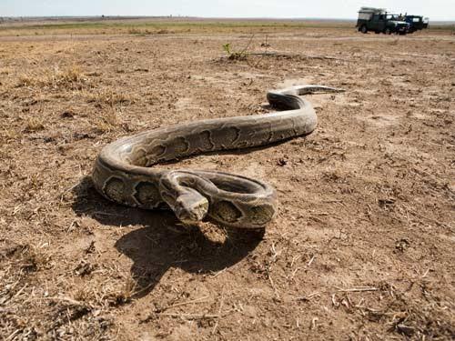 بالصور اكبر ثعبان في العالم , صور اكبر الثعابين فى العالم ثعبان الاناكوندا 3149 6