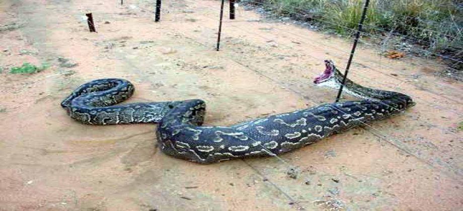 بالصور اكبر ثعبان في العالم , صور اكبر الثعابين فى العالم ثعبان الاناكوندا 3149 7