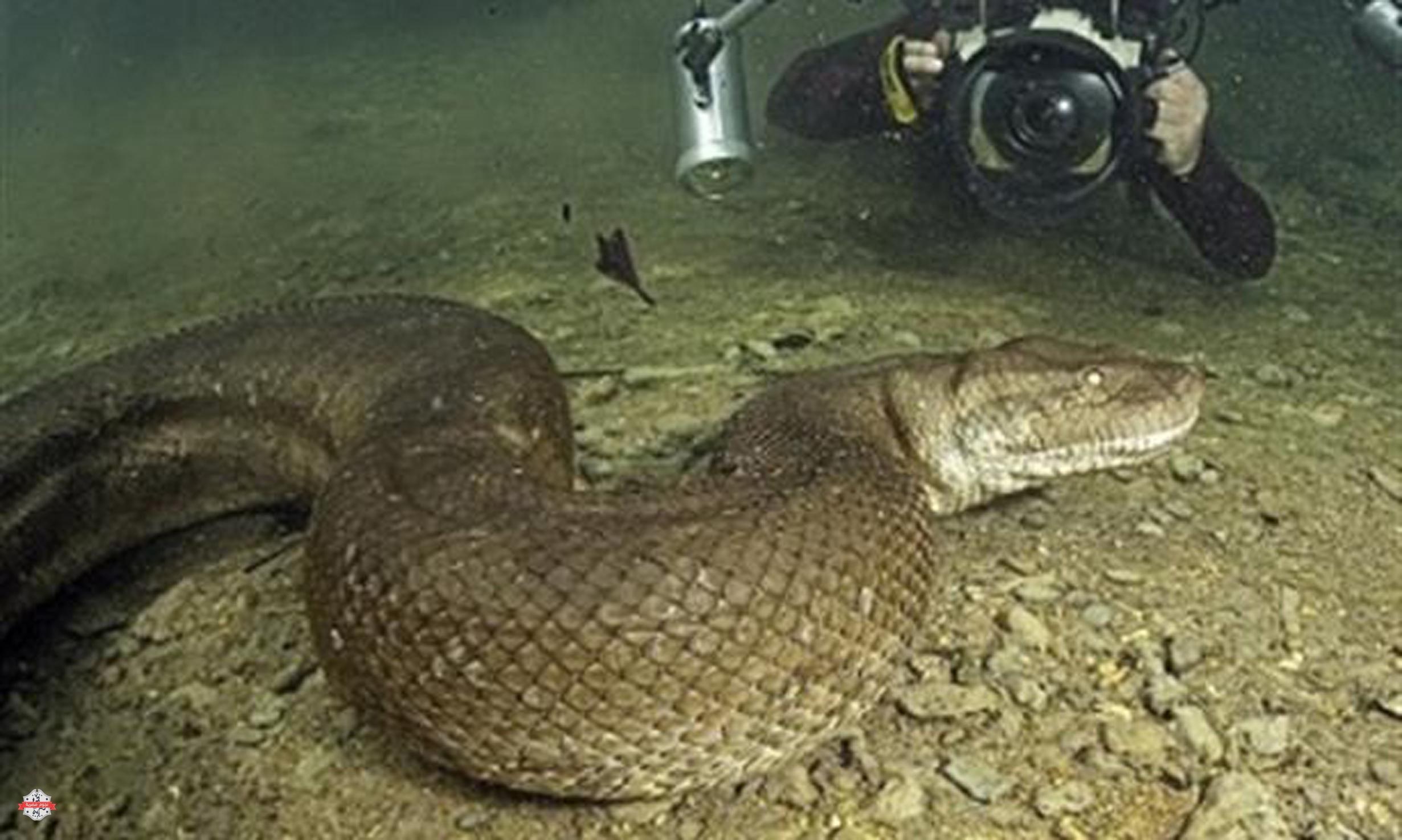 بالصور اكبر ثعبان في العالم , صور اكبر الثعابين فى العالم ثعبان الاناكوندا