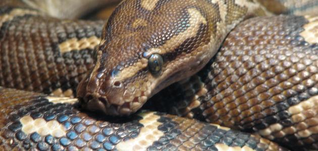 صورة تفسير حلم الثعابين في البيت , مامعني رؤيه الثعابين في المنام