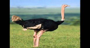 صوره ما هو الطائر الملقب بالطائر الجمل , معلومات عن الطائر المسمى بالطائر الجمل