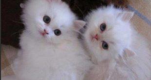 صور قطط شيرازى , اجمل صور للقط
