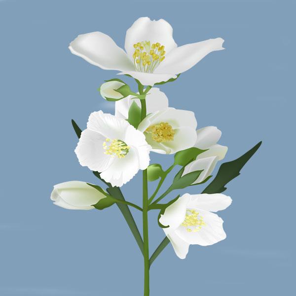 صوره صور ورد الياسمين , صور لزهرة الياسمين احلى الزهور