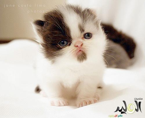 بالصور صور قطط كيوت , اجمل صور قطط 331 13