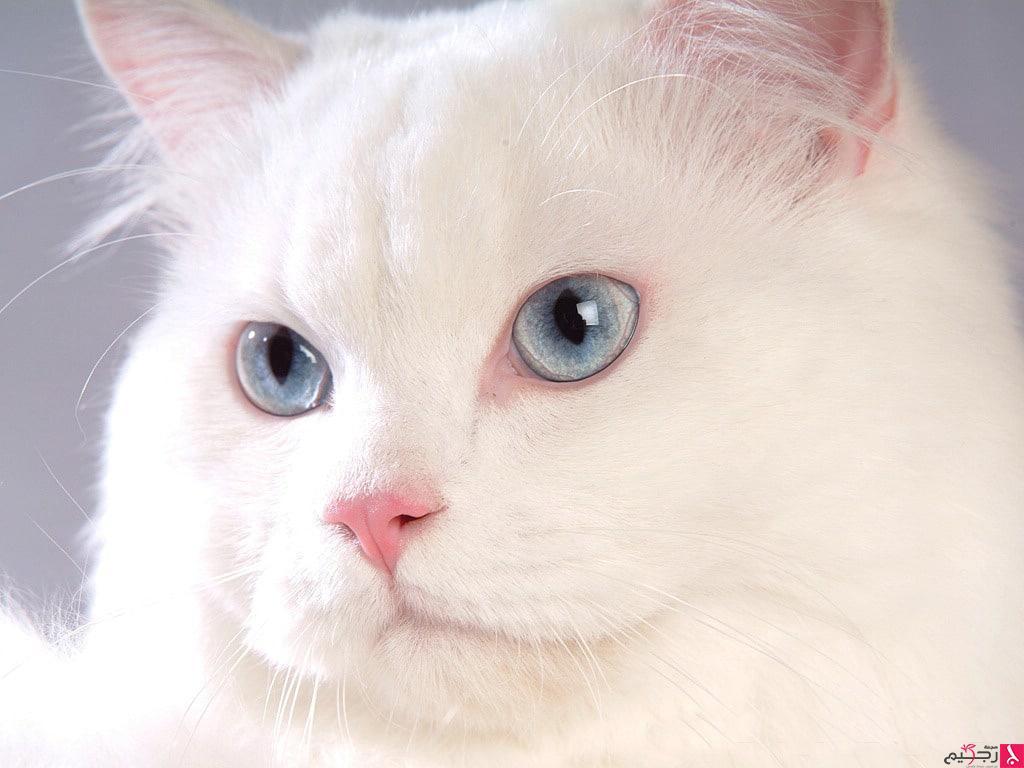 بالصور صور قطط كيوت , اجمل صور قطط 331 5