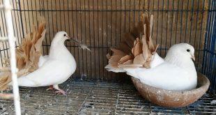 صوره حمام هزاز , اجمل انواع الطيور الحمام