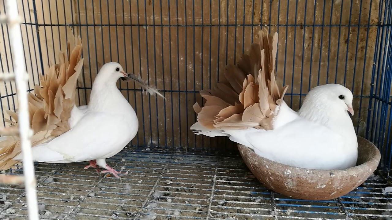 صور حمام هزاز , اجمل انواع الطيور الحمام