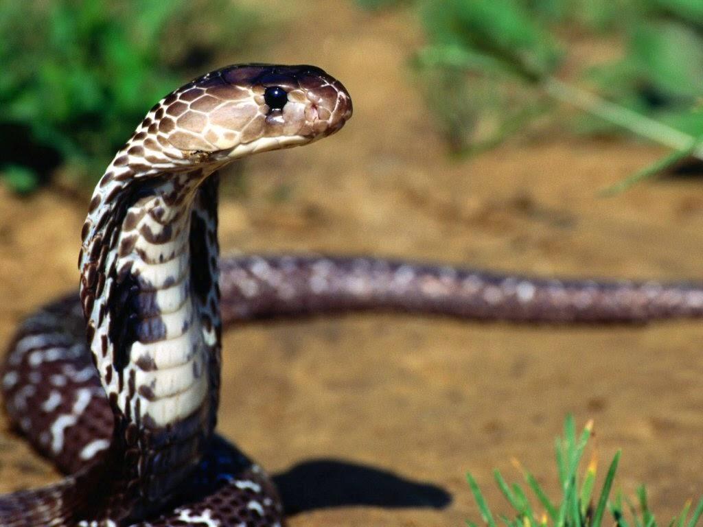 صور الثعابين في المنام , تفسير رؤية الثعبان في الحلم