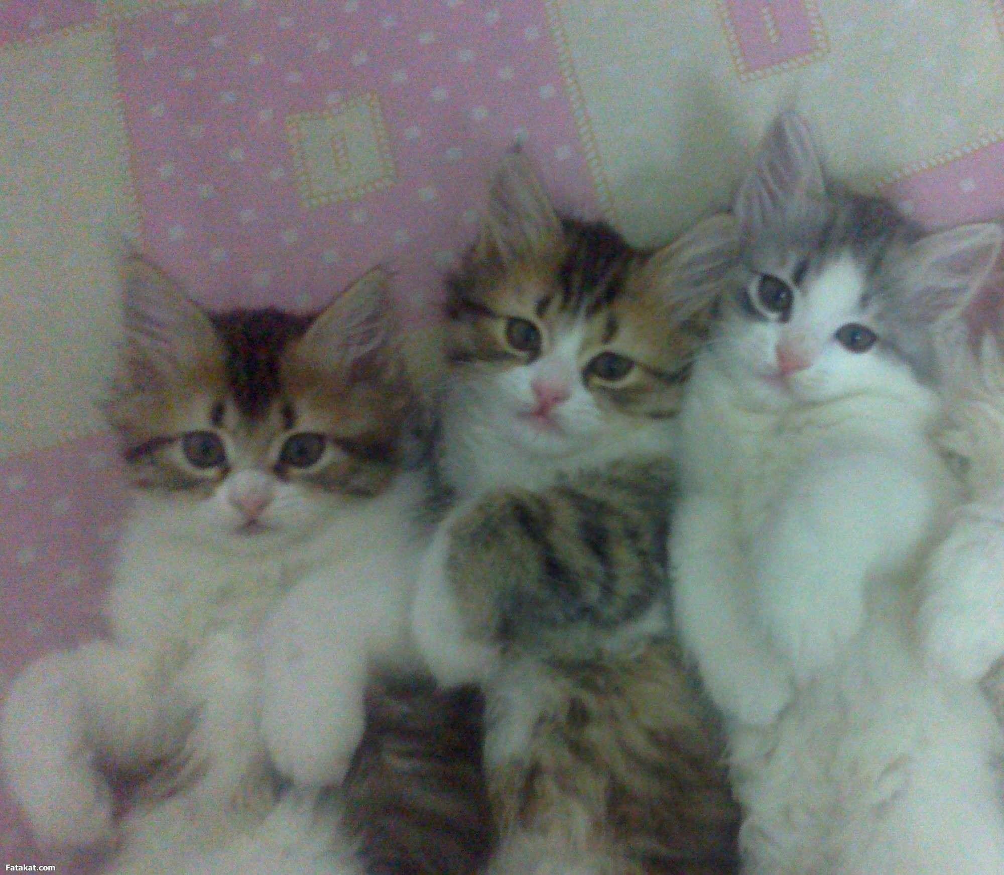 صور قطط رومي , اجمل اشكال القطط الرومي
