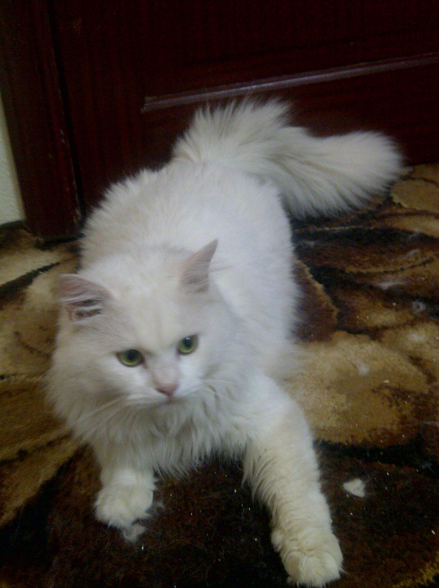 صوره قطط رومي , اجمل اشكال القطط الرومي