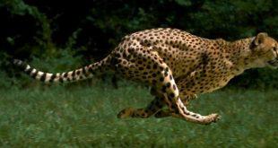 صوره اسرع حيوان في العالم , تعرف على اسرع حيوان في العالم