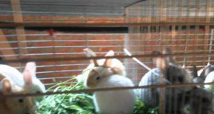 صوره تربية الارانب في المنزل , كيف تربي ارنب في منزلك؟