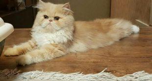 صور قطط شيرازي , صور جميلة عن القطط