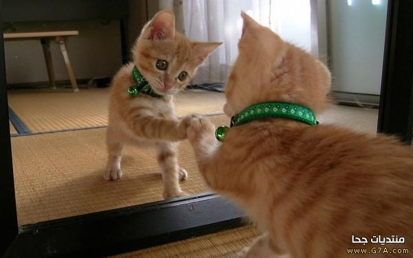 صورة قطط مضحكة , اجمل القطط المضحكة