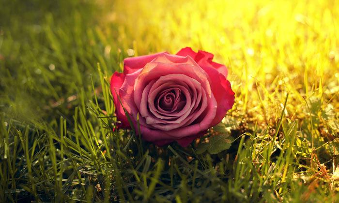بالصور صور ورود طبيعيه , اشكال الربيع في زهرات البساتين 84 13