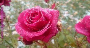 صور صور ورود طبيعيه , اشكال الربيع في زهرات البساتين