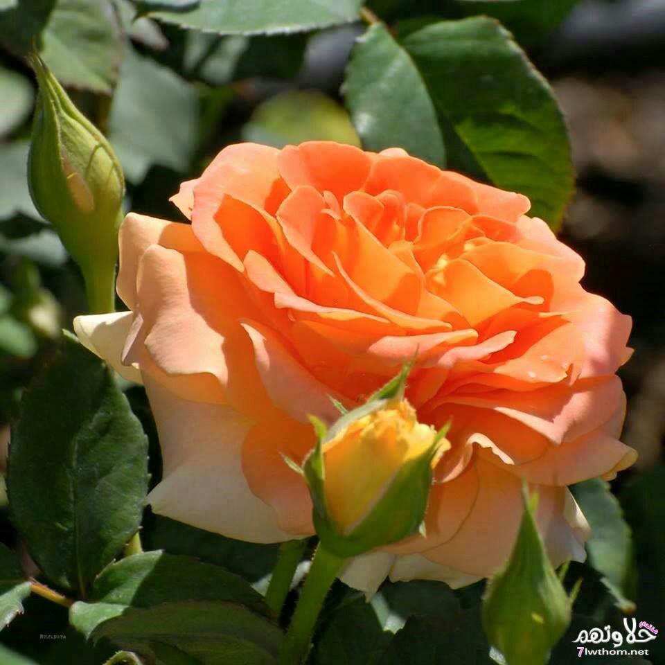 بالصور صور ورود طبيعيه , اشكال الربيع في زهرات البساتين 84 3