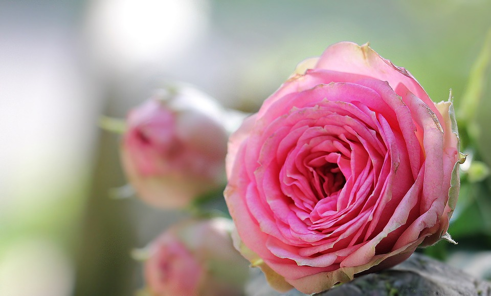 بالصور صور ورود طبيعيه , اشكال الربيع في زهرات البساتين 84 5