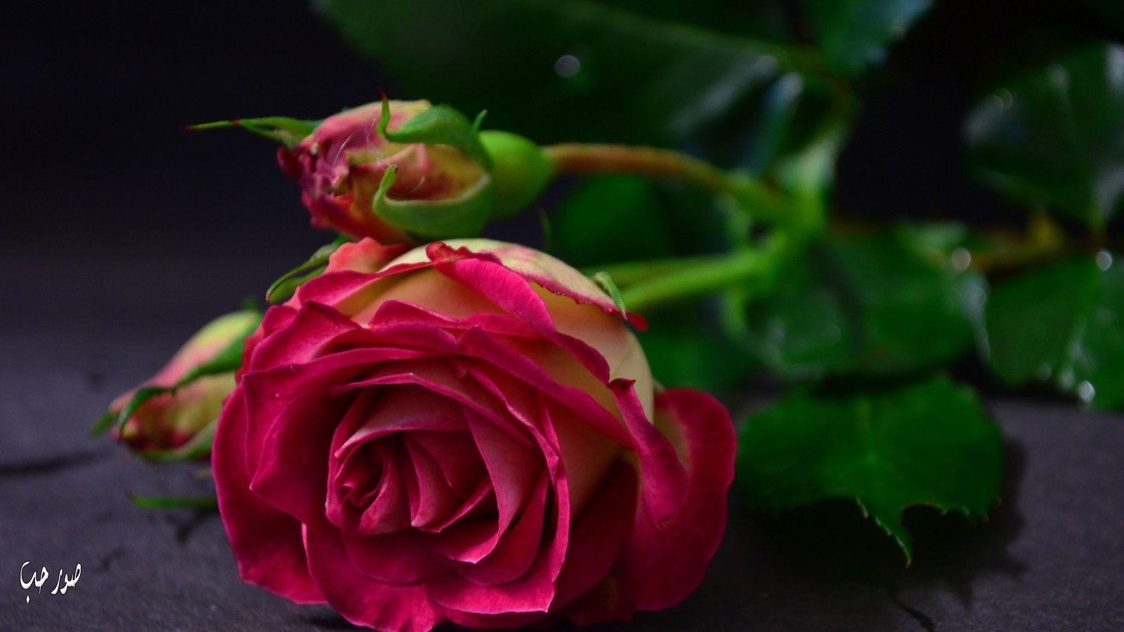 بالصور صور ورود طبيعيه , اشكال الربيع في زهرات البساتين 84 7