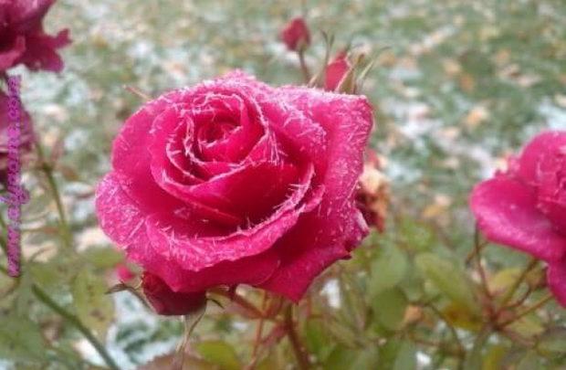بالصور صور ورود طبيعيه , اشكال الربيع في زهرات البساتين 84