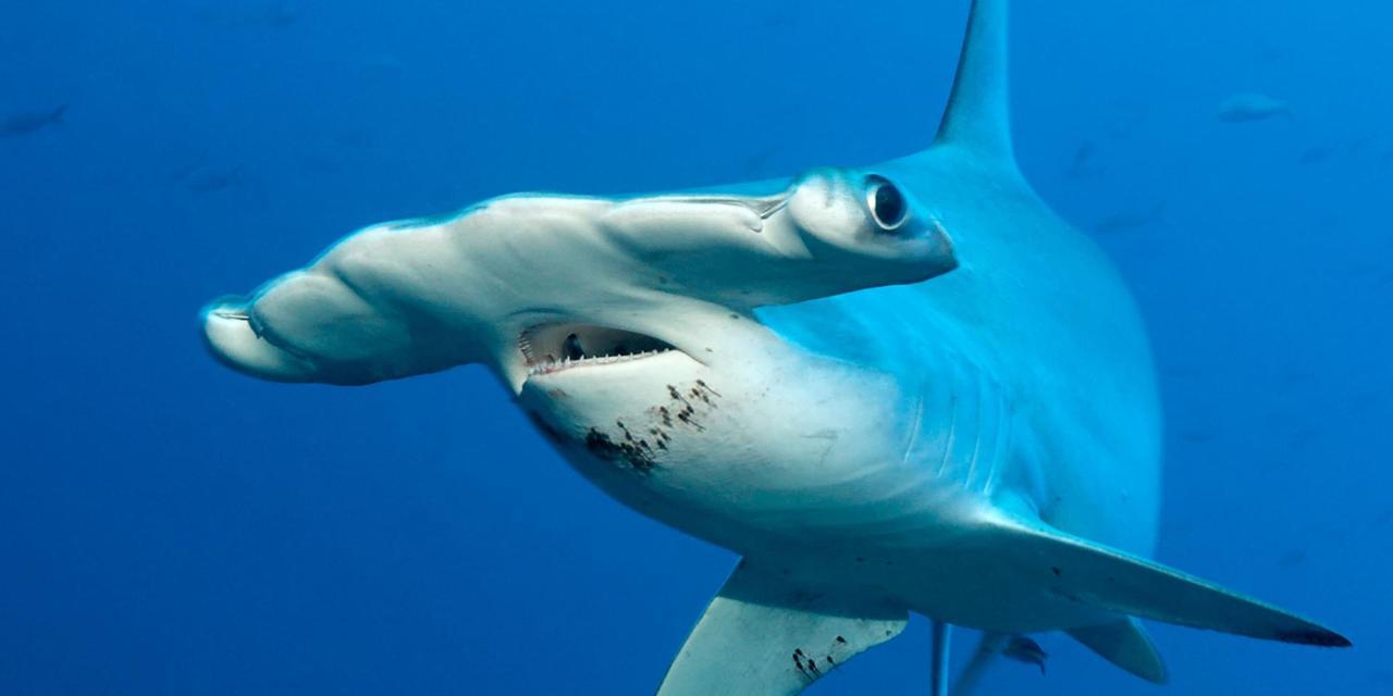 صوره صور سمك القرش , اجمل صور اسماك القرش المفترسة