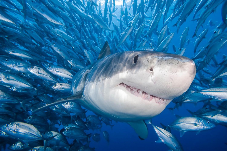 بالصور صور سمك القرش , اجمل صور اسماك القرش المفترسة 5333 10