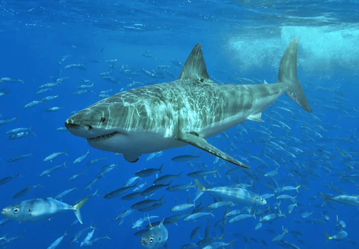 بالصور صور سمك القرش , اجمل صور اسماك القرش المفترسة 5333 11