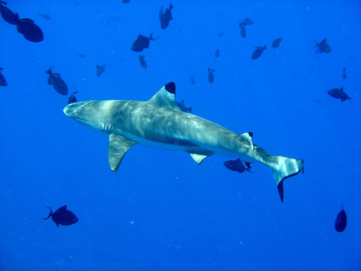 بالصور صور سمك القرش , اجمل صور اسماك القرش المفترسة 5333 12