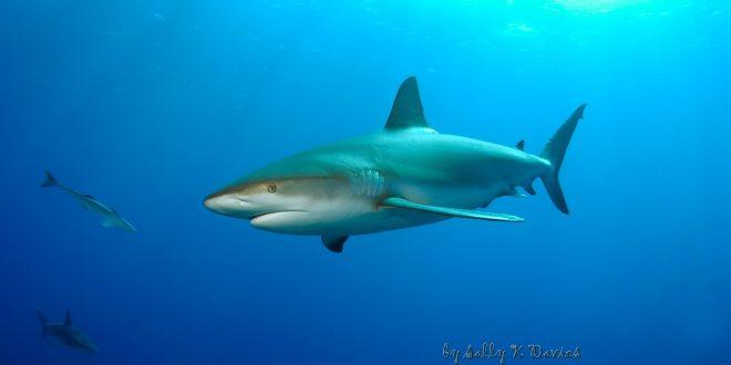 صورة صور سمك القرش , اجمل صور اسماك القرش المفترسة