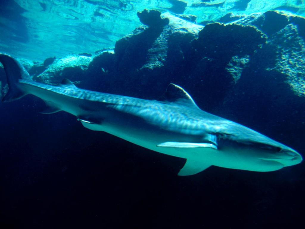 بالصور صور سمك القرش , اجمل صور اسماك القرش المفترسة 5333 3