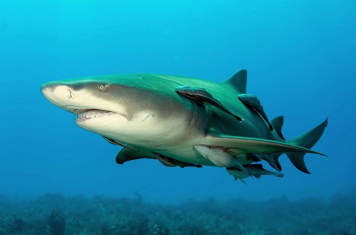 بالصور صور سمك القرش , اجمل صور اسماك القرش المفترسة 5333 4
