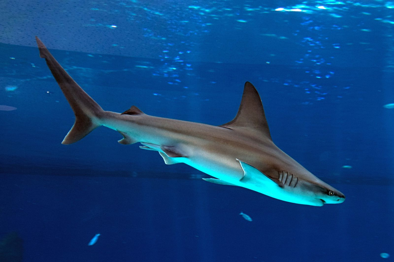 بالصور صور سمك القرش , اجمل صور اسماك القرش المفترسة 5333 5