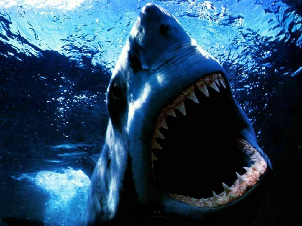 بالصور صور سمك القرش , اجمل صور اسماك القرش المفترسة 5333 6